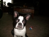 Boston Terrier, 9mos., brindle/white