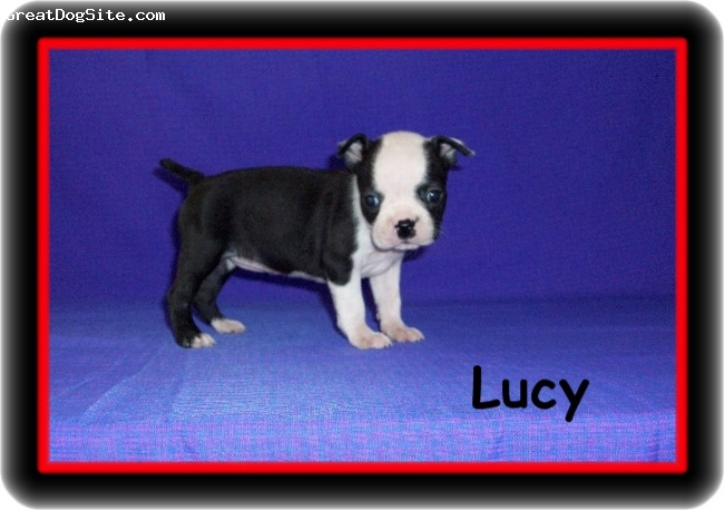 Boston Terrier, 8 weeks, Black & White,