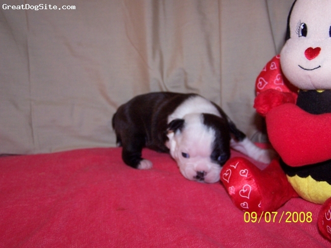 Boston Terrier, 4 wks., black/brindle/white,