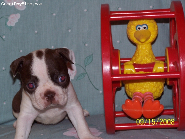Boston Terrier, 5 wks., Red/White,