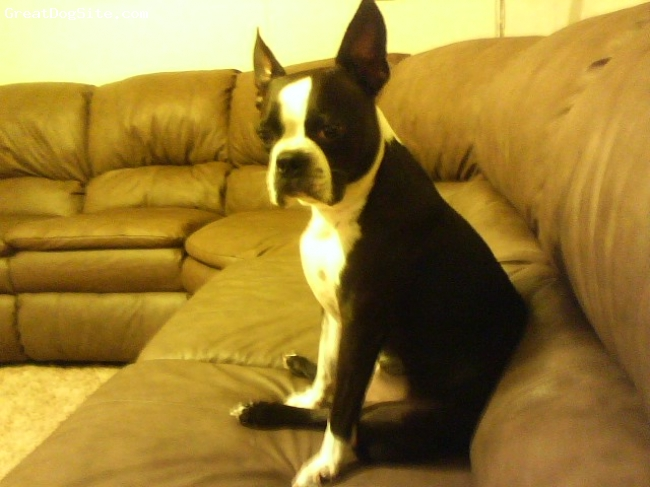 Boston Terrier, 5years, Black/White, Peanut is a 5year old full blooded Boston Terrier. He is so sweet & playful & wonderful with everyone. He is a member of our family not a pet!