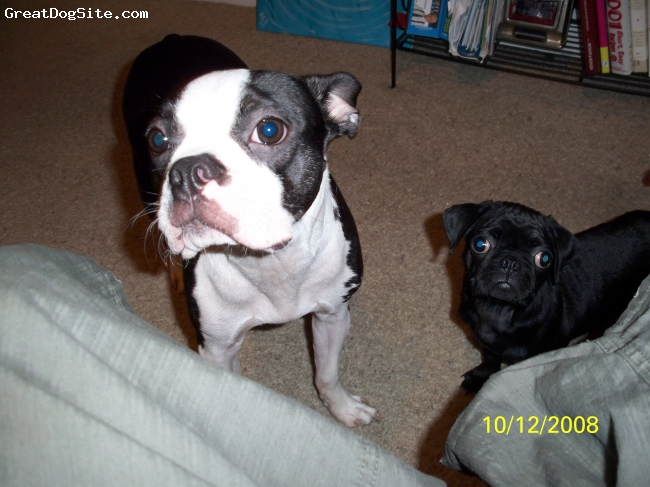 Boston Terrier, 1 year old, blk/wht, hes trying to be a good role modle for his little sister