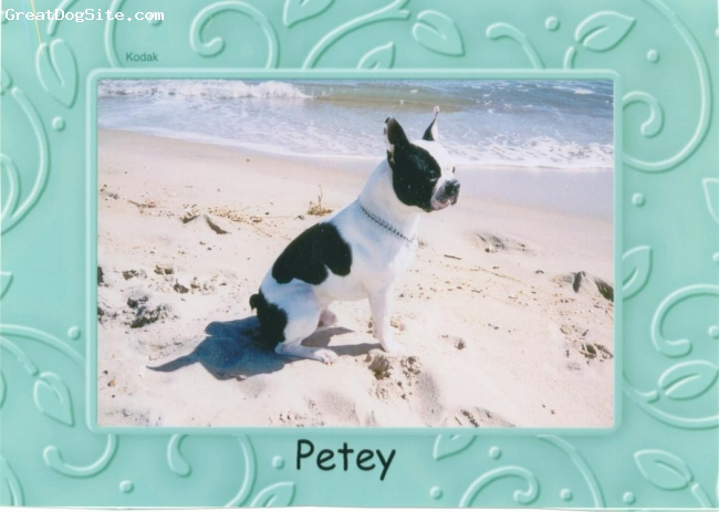 Boston Terrier, 3 Years, Reversed, Petey is a very rare colored Boston. (NOT A FRENCHIE) He is white in the places other Bostons are black and black where other are marked in white. Like most Bostons, Petey is very smart, easy to train and LOVES his family.
