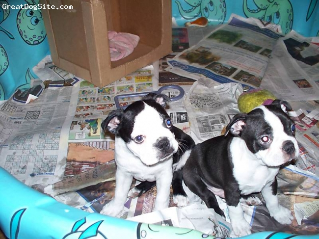 Boston Terrier, 10 weeks, black/white, my new pup on the left with the mismarked face