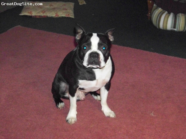 Boston Terrier, 4, B&W, Son to Kisser and Zotz brother to Sixy. A great looking boy that can play with two balls at a time. Very smart and a great companion for my brother.