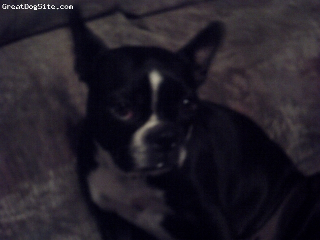 Boston Terrier, 1 year, Black and White, She is  Awesome!