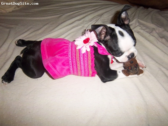Boston Terrier, 3 months, black and white, so cute in her little pink dress