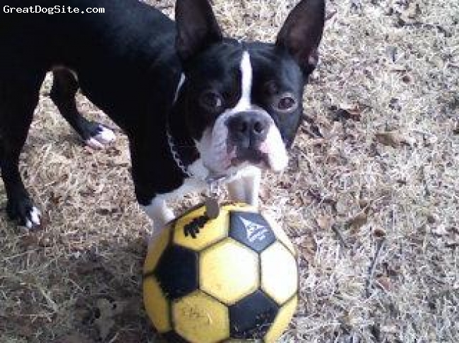 Boston Terrier, 4 and a half, black & white, Our Boston Terrier, Rosco. At the time of this picture, he was a little less than 2. He loves to play.