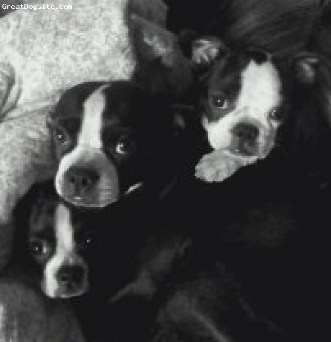Boston Terrier, 3yrs. 4mo. and 4mo., Black and White, Mom and pups!  My loves..