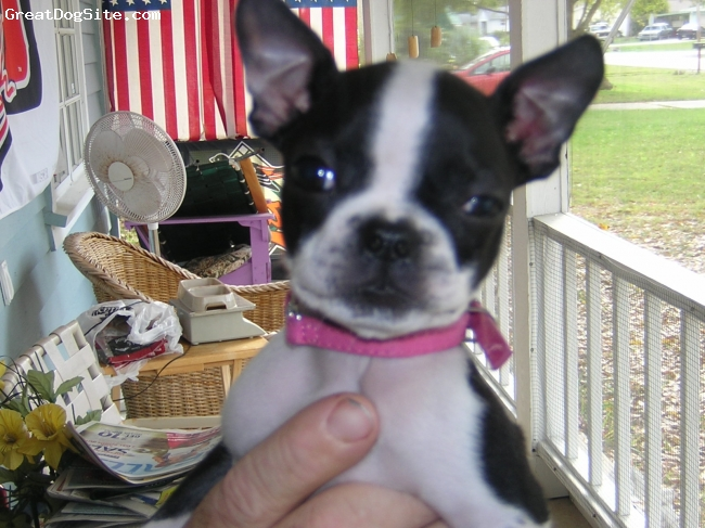 Boston Terrier, 10 months, black/white, Rowdy is names after race car driver Kyle Busch (Rowdy) she met Rowdy and they became friends