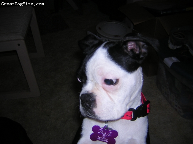 Boston Terrier, 4 hears, black/white, Dale jr is named after race car driver Dale Earnhardt Jr - he luvs to go to the races