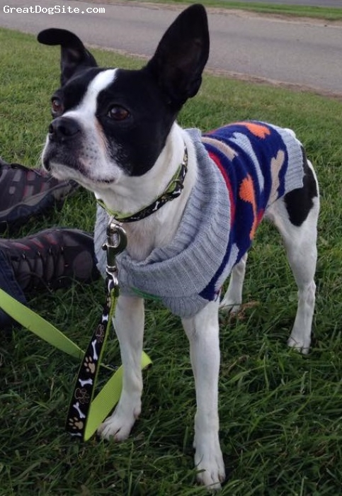 Boston Terrier, 3, Black/White, We just adopted Lou.  He's our first Boston Terrier and we are hooked on the breed...what a great dog!