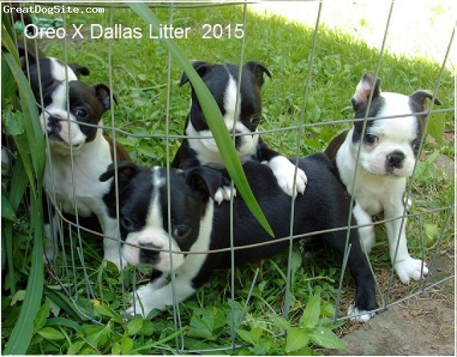 "Boston Terrier, 6weeks, black/white, Quality ""Proudly Made in USA"" Boston terriers"
