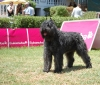 Bouvier des Flandres, 32 months, gray tabby
