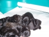 Bouvier des Flandres, 2 DAYS OLD, Black