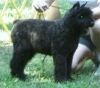 Bouvier des Flandres, 4 Months  old, Black