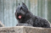 Bouvier des Flandres, 3 years and five months, grey-tabby