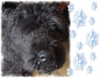 Bouvier des Flandres, 5 years, black