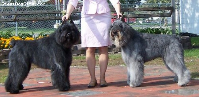 Bouvier des Flandres, 2 yrs old, Black and Gray, Riley is blk and Kneeko is silver