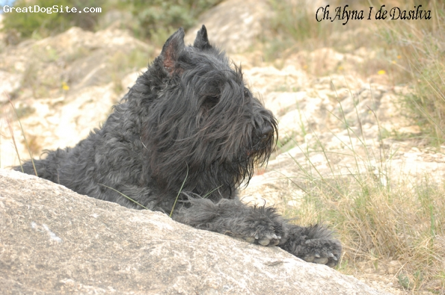 Bouvier des Flandres, 3 years and 5 months, grey-tabby, My uncombed bouvier