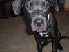 Boxador, 5 months, Black