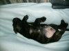 Boxador, 16.5 months, Brindle