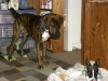 Boxador, 9 months, Brindle