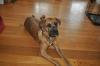 Boxador, 10 months, Brindle
