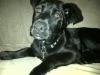 Boxador, 3 months, black