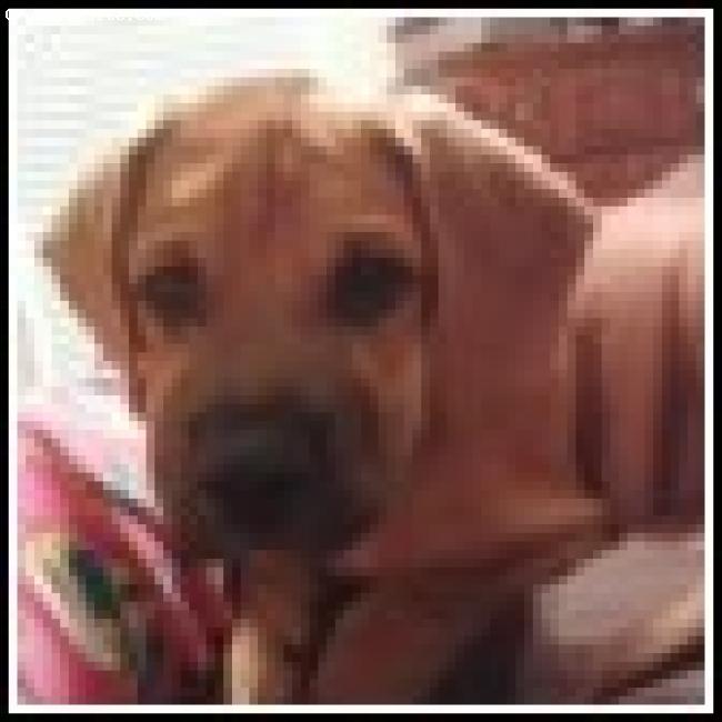 Boxador, 13 weeks, Light Brown/Black, Marley Bear he is 12 weeks here
