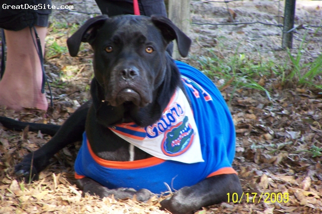 Boxador, 1 year old, Black/white spot on chest, Here is our Gator Dog. When he is wearing his colors he really struts!