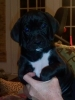 Boxapoint, 8 weeks, Black with white markings