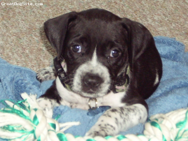 Boxapoint, 8 weeks, Black and white, Very playful puppy, great dog
