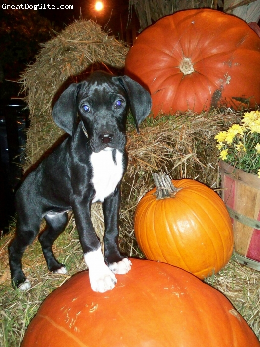 Boxapoint, 8 weeks, Black with white markings, Petal is very loving, playful, and sweet.