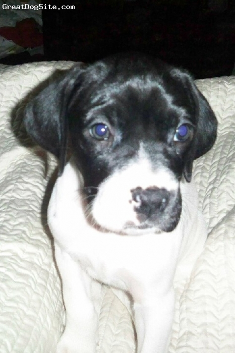 Boxapoint, 8 weeks, Black with white markings, Petal's sister is White with a Black head