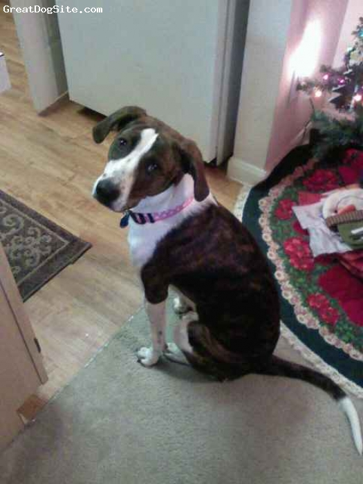 Boxapoint, 1, Brindle and white, A female boxer pointer mix. Beautiful!