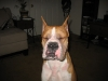 Boxer, 1 yr, fawn w/whie