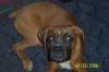 Boxer, 8 months, fawn/white/black