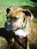 Boxer, 10 months, brindle