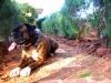 Boxer, 4,7, tiger