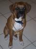 Boxer, 6 MONTHS, FAWN W/BLACK MASK