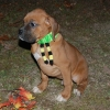 Boxer, 12 weeks old, Fawn
