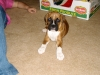 Boxer, 1 month, fawn