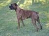Boxer, 3, Brindle