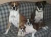 Boxer, 6 MO,9 MO,4 YRS,3 YRS, FAWN  AND BRINDLE