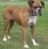 Boxer, 6 Years, Fawn & White
