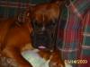 Boxer, 11 months, fawn/white/black