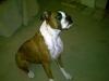 Boxer, 2, Brindle