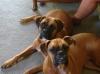 Boxer, both 2, fawn
