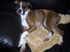 Boxer, 2 years, brindle/ white markings